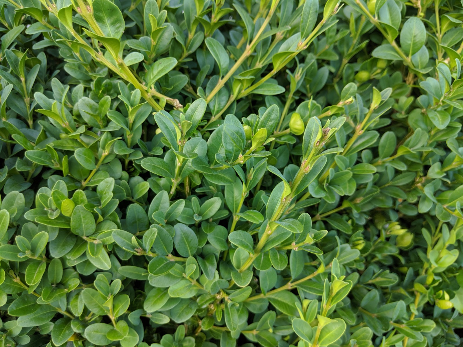 Common Boxwood Foliage