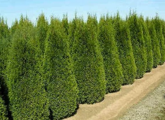 Holmstrup Cedar