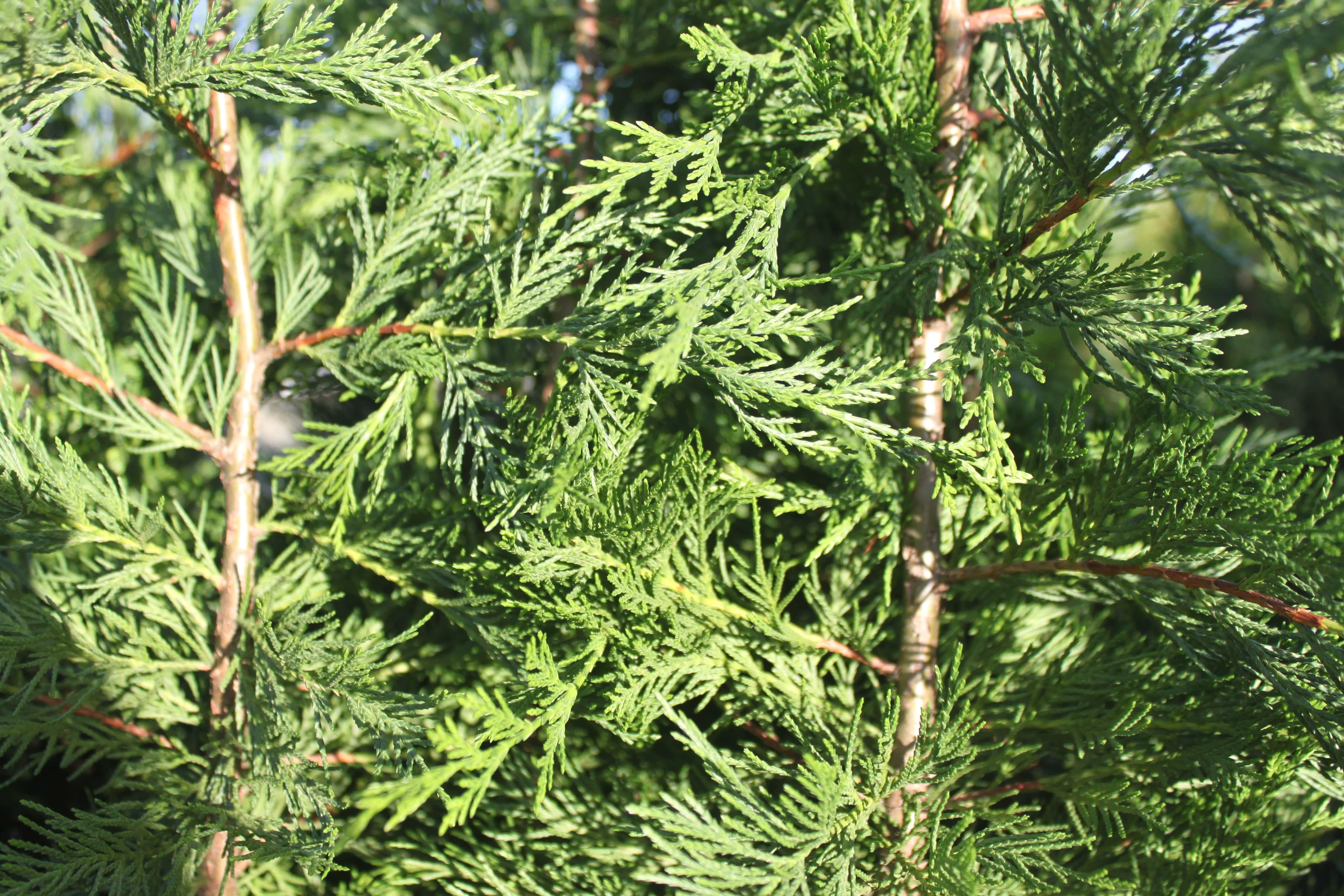 Leyland Cypress Foliage