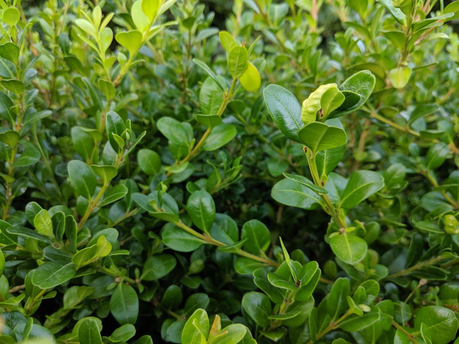 Winter Gem Boxwood Foliage
