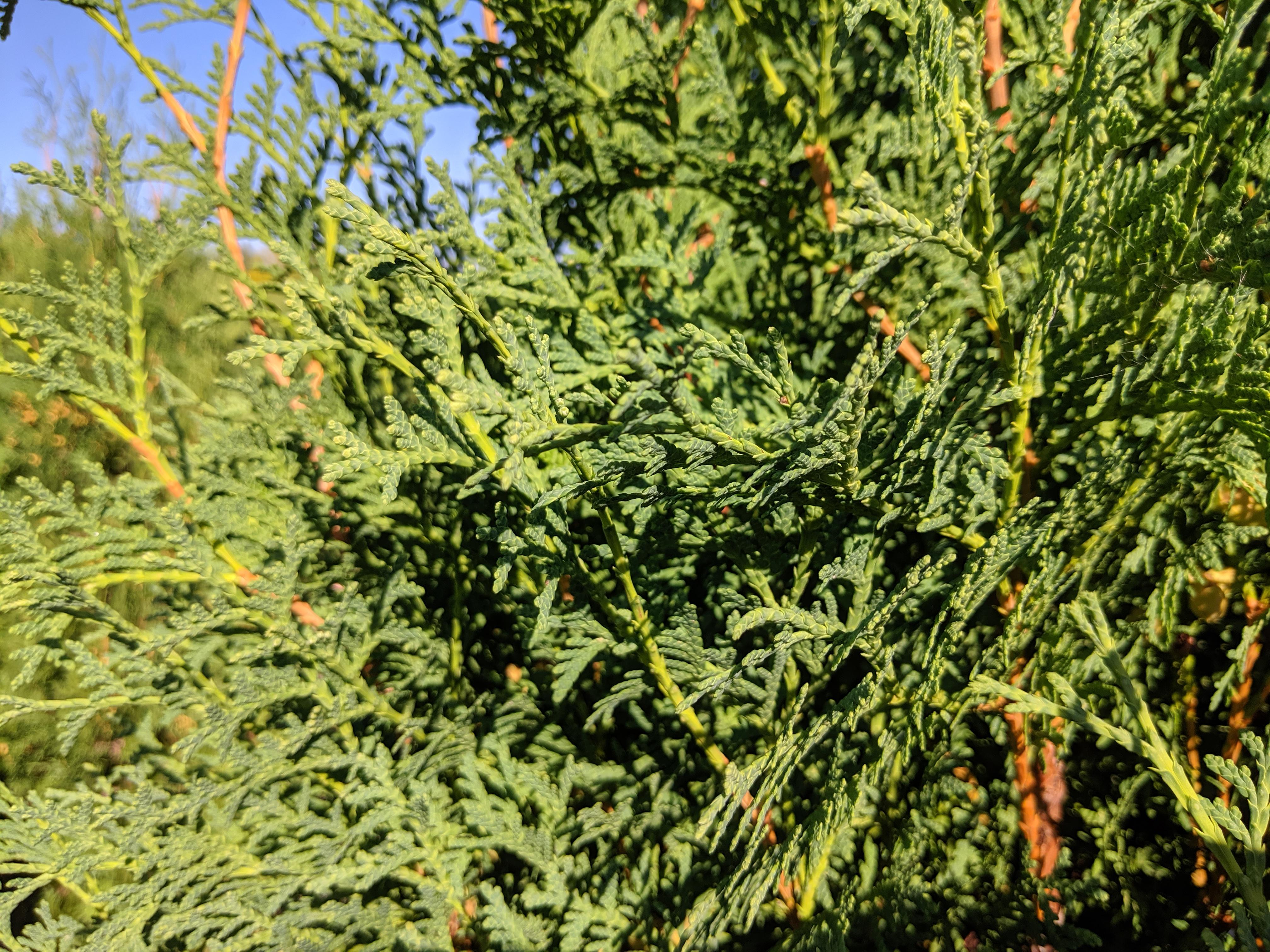 Brandon Cedar Foliage