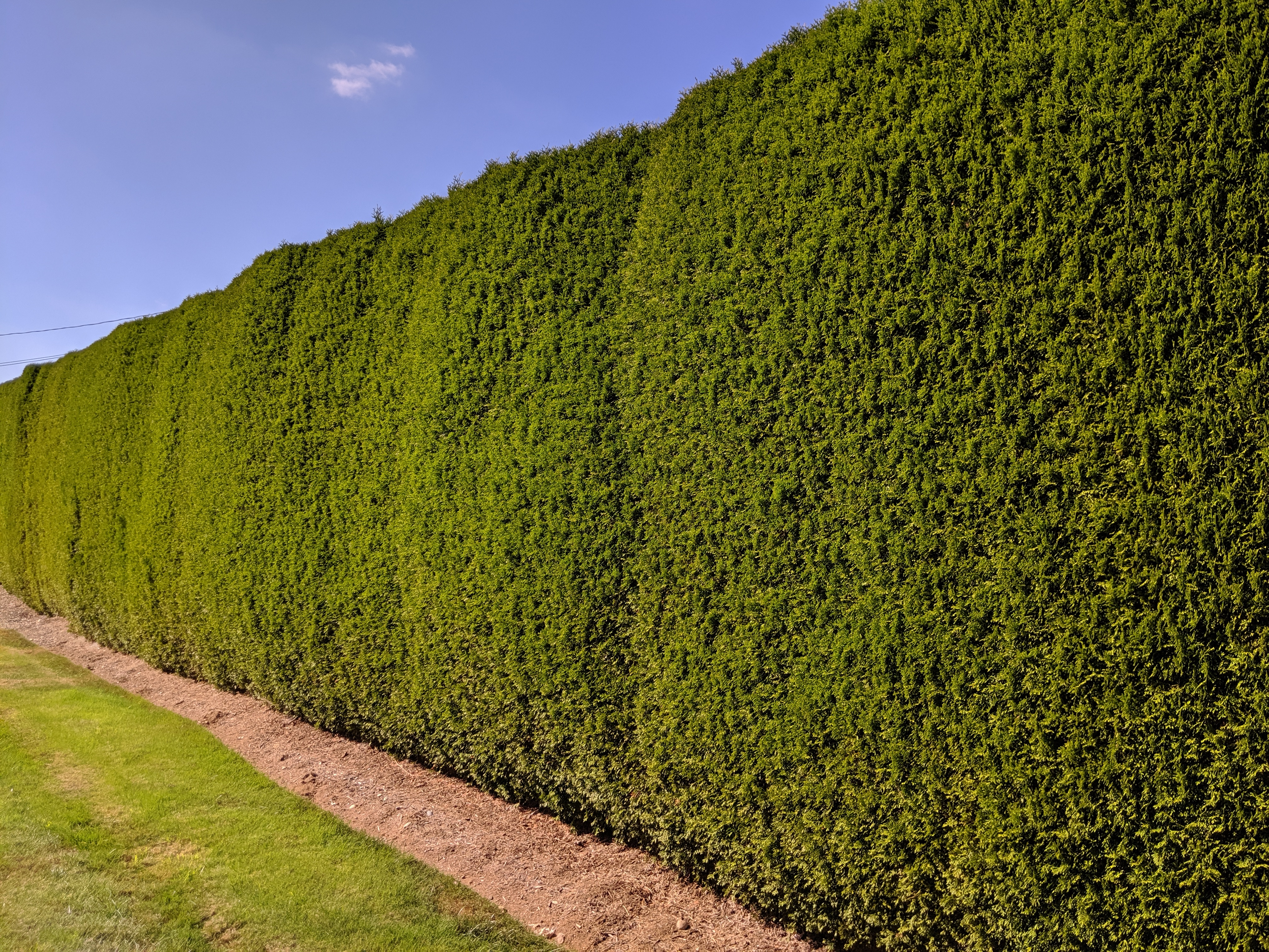Emerald Cedar Hedge Trimmed