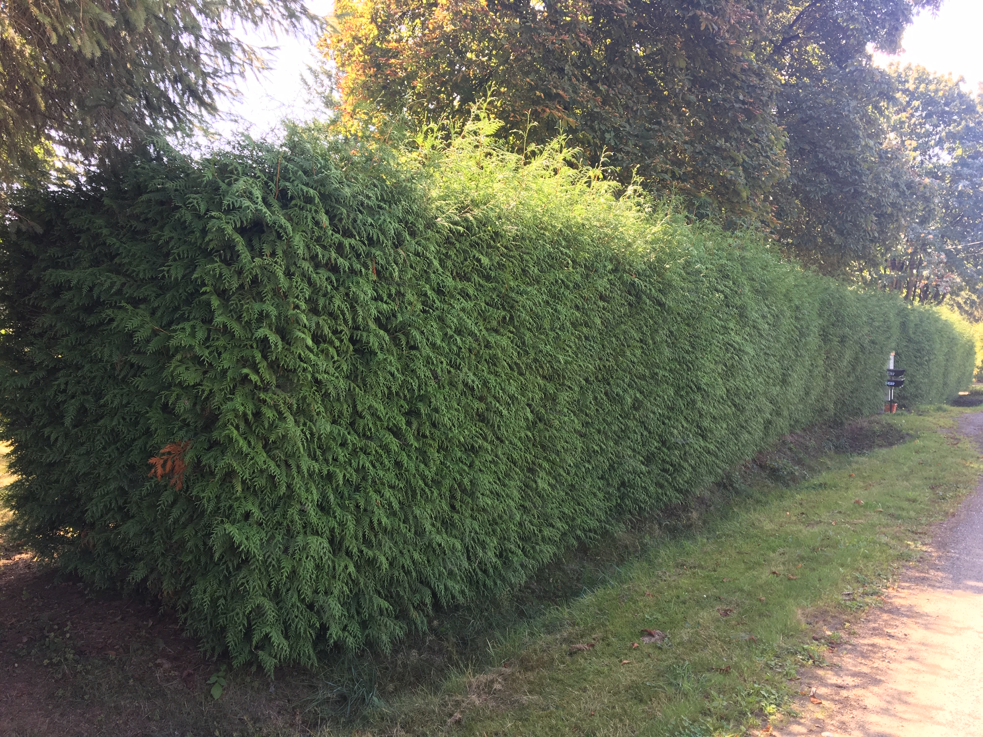 Green Giant Hedge