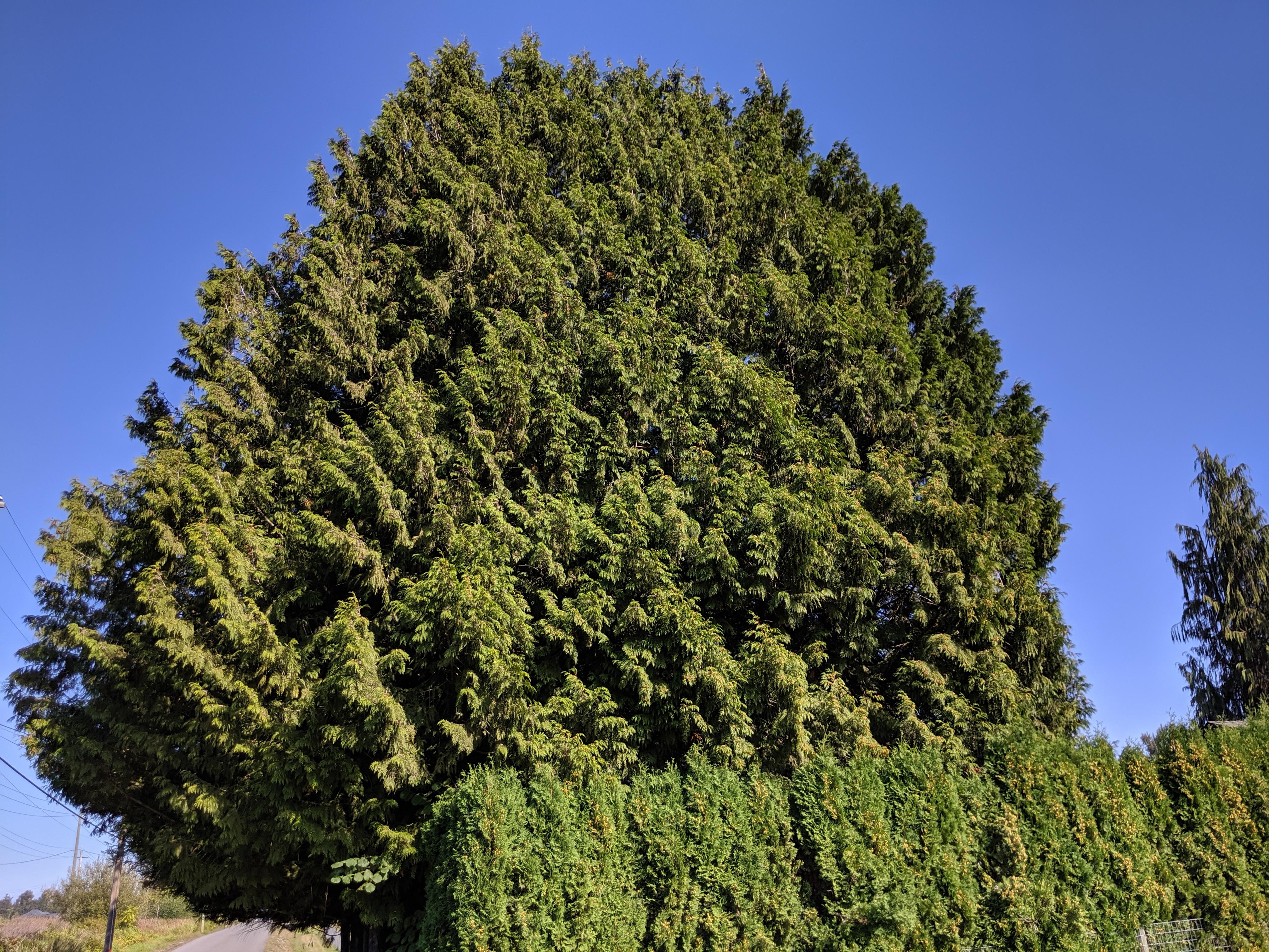 Leyland Cypress Untrimmed