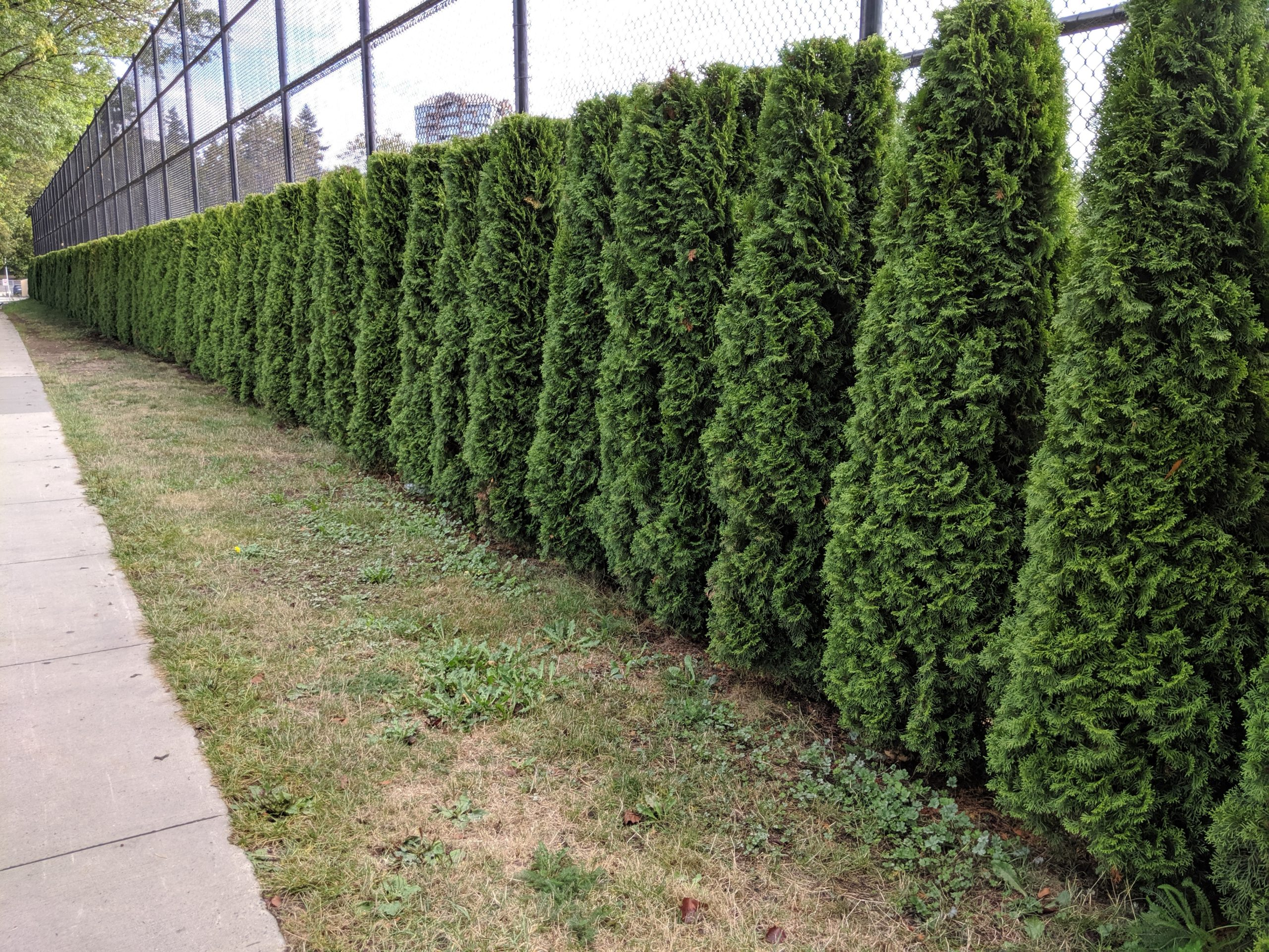Emerald Smaragd Hedge Long Fenceline
